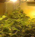 Cultivo cannabis de sea of gree