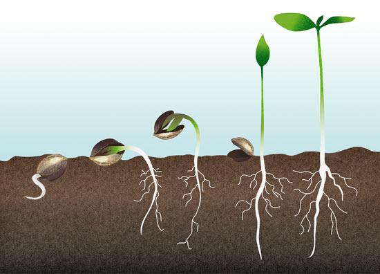 Manual de cultivo marihuana b sico santyerbasi blog - Como plantar marihuana en casa paso a paso ...