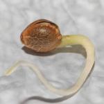 semilla crecimiento autoflorecientes