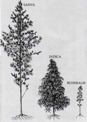 Sembrar semillas de marihuana autoflorecientes en Argentina Sativa, Indica, Ruderalis