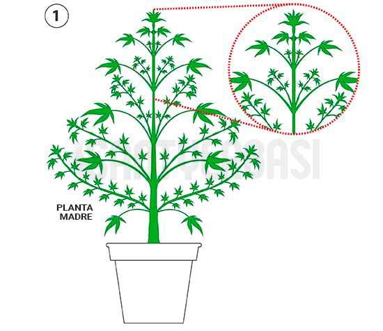 planta madre