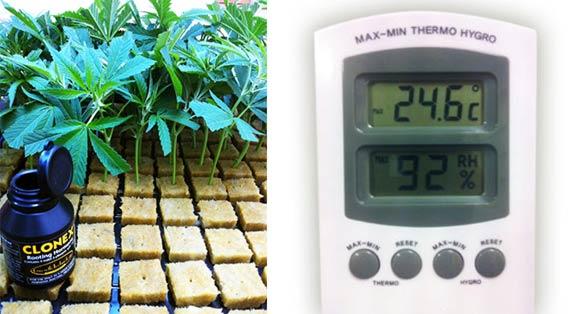 Temperatura y esquejes marihuana