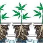regar cannabis inundacion