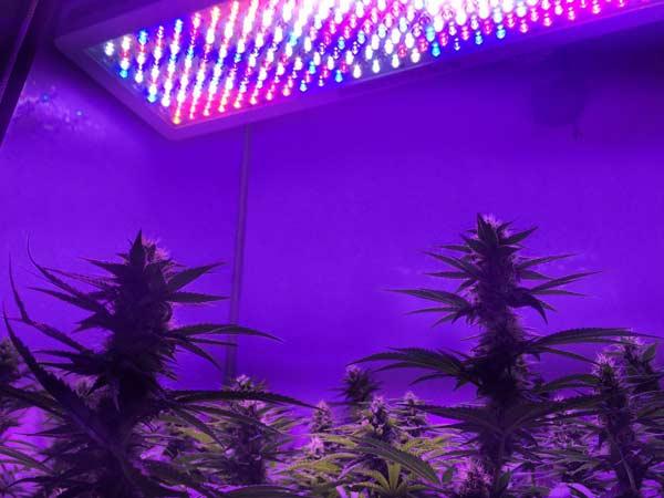 Cultivar marihuana con leds santyerbasi blog - Pantalla led cultivo interior ...