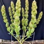 Técnica Main-Lining para marihuana