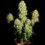 Marihuana más productiva: Las mejores variedades