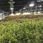Producción de marihuana en interior: Más cosecha