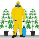 Desinfectar un cultivo de cannabis