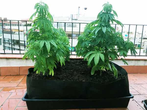 marihuana smart pot
