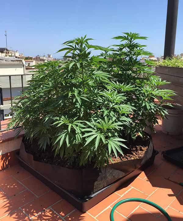 liner cannabis