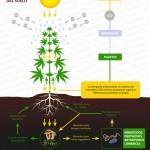cultivo de marihuana no till