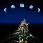Luna y su influencia en la marihuana