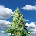 Semillas de marihuana recomendadas exterior 2018