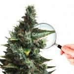 Derechos de autor del cannabis: la batalla empieza