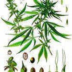 marihuana hembra